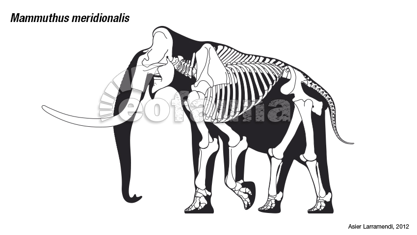 Mammuthus meridionalis